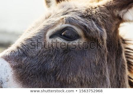 Donkey in a Meadow Stock photo © rhamm