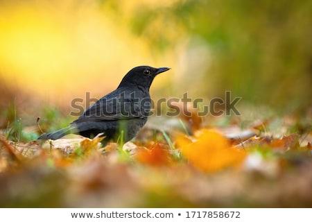 Blackbird bouleau arbre nature Homme Photo stock © ivonnewierink