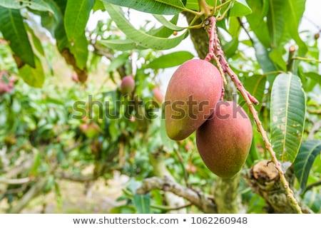 mango · ağaç · görmek · yaprak · meyve - stok fotoğraf © jkraft5