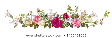 panoramic roses stock photo © vwalakte