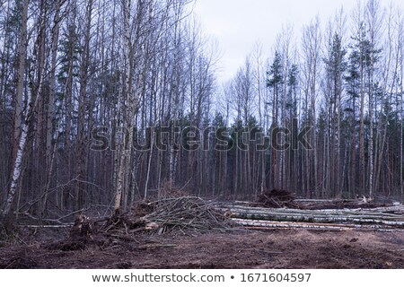 Stacked Spruce Timber in Spring Forest stock photo © tainasohlman