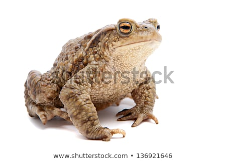 Common toad, Bufo bufo Stock photo © Arrxxx