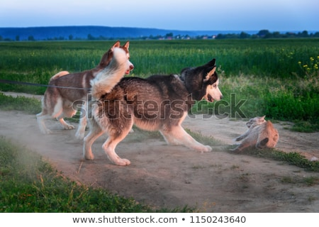 Cat And Dog Fighting stock photo © ryhor