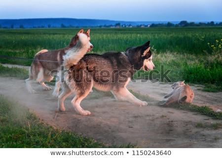 Kedi köpek kavga öfkeli avcılık korkmuş Stok fotoğraf © ryhor