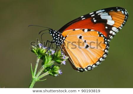 African Monarch (Danaus chrysippus) Stock photo © dirkr