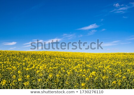 arany · mező · kék · ég · kilátás · virág · fa - stock fotó © mycola