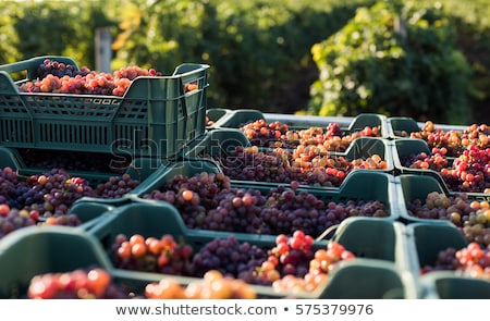 to gather in the harvest, south Ukraine Stock photo © mycola