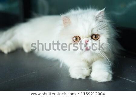 exotisch · korthaar · kat · perzische · kat · grijs · ogen - stockfoto © EwaStudio