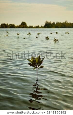 Beautiful mangrove tree growing on the seashore Stock photo © smithore
