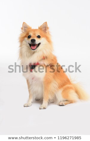 Purebred volpino italiano Stock photo © bigandt