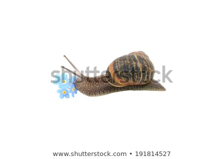 Garden snail exploring blue forget-me-not flowers Stock photo © sarahdoow