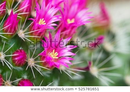 roze · cactus · bloem · roze · bloem · groene - stockfoto © stocker
