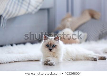 Bella cat stanza nero guardare pelliccia Foto d'archivio © Pavlyuk