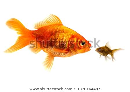 Goldfish Homeless Stock photo © tilo