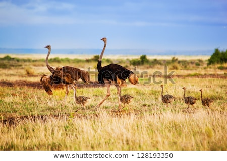 ostrich family stock photo © dirkr