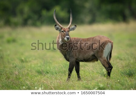Waterbuck (Kobus ellipsiprymnus) Stock photo © dirkr