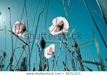 Poppy Flowers Papaver rhoeas in Spring Stock photo © mady70