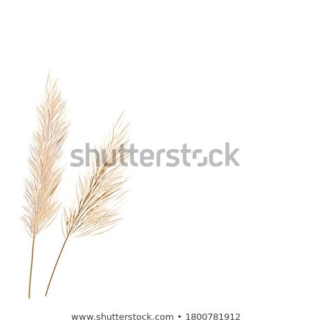 Barley Head Detail stock photo © mpetersheim