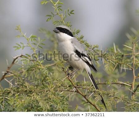 Southern Grey Shrike - Lanius meridionalis Stock photo © chris2766