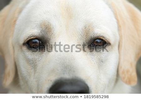 Labrador retriever hond oog selectieve aandacht ondiep Stockfoto © stevanovicigor