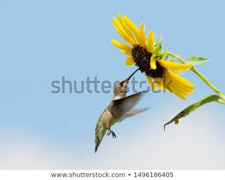 hummingbird feeding from sunflower stock photo © scornejor