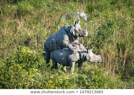 Two Large white rhinoceros mating Stock photo © hedrus