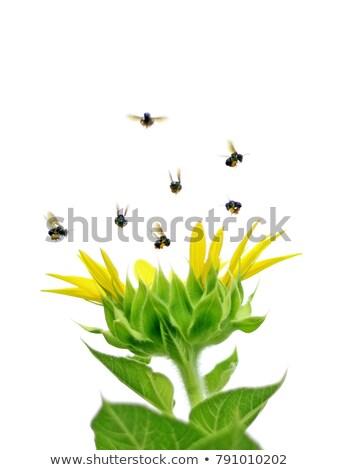 joaninhas · voador · em · torno · de · girassol · ilustração · flores - foto stock © bluering