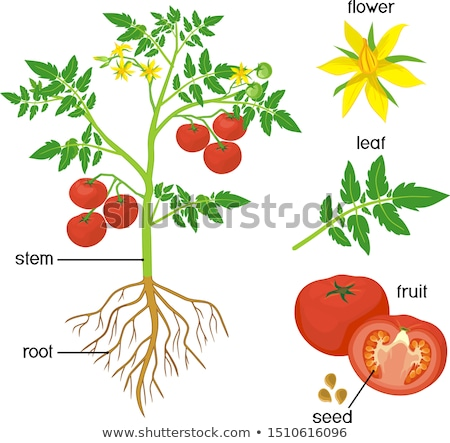 parts of a tomato plant stock photo © bluering