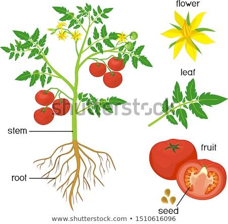 Stock fotó: Alkatrészek · paradicsom · növény · illusztráció · mutat · tudomány