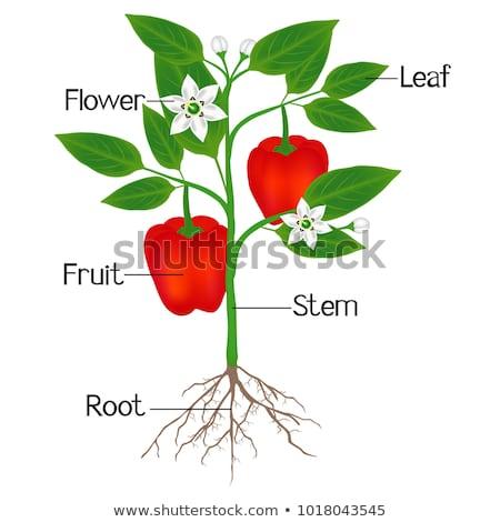 alkatrészek · paradicsom · növény · illusztráció · mutat · tudomány - stock fotó © bluering