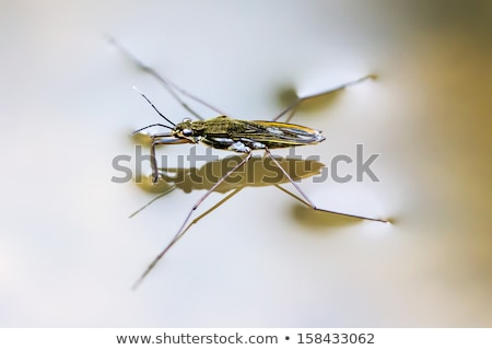 Pond skater Stock photo © bluering
