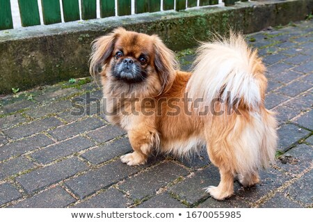 long hair small dog walking in a studio floor Stock photo © vauvau