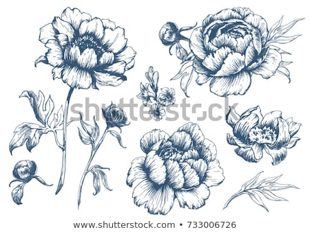 Peony flower illustration, drawing, engraving, line art, collection, set Stock photo © JenesesImre