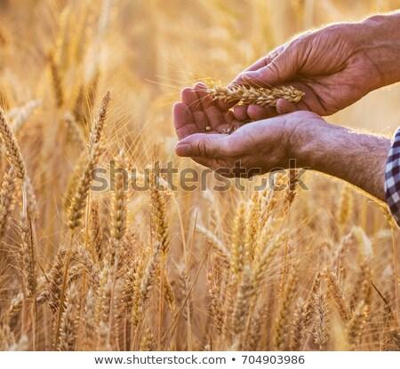 фермер пшеницы ушки области мужчины Сток-фото © stevanovicigor