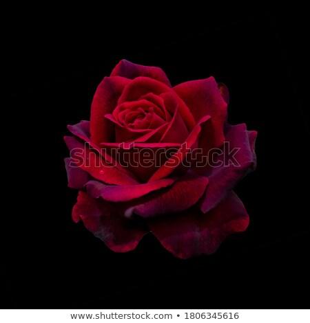 Stock fotó: Piros · rózsa · sötét · gyönyörű · űr · szöveg · rózsa