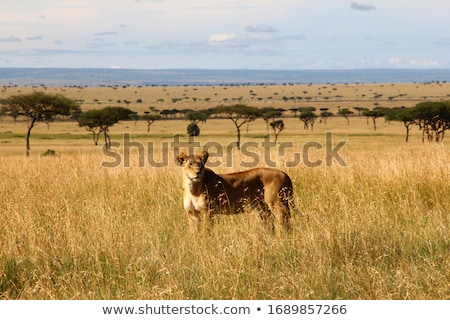 Lion standing in the high grass. stock photo © simoneeman