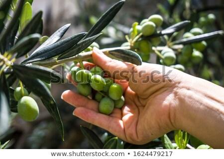 Female hand picking ripe green olive fruit from tree branch Stock photo © stevanovicigor