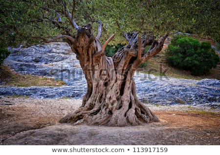 Stok fotoğraf: Old Olive Tree Bark Texture
