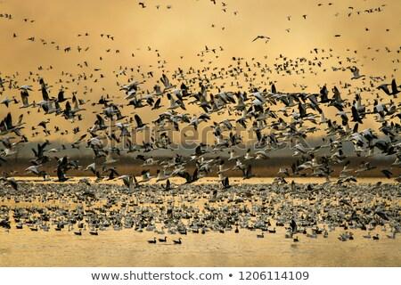 Canada · ganzen · vlucht · hemel - stockfoto © pictureguy