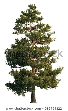 Verde ramo pino isolato bianco vettore Foto d'archivio © orensila