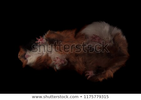 bottom view of cute brown guinea pig standing on glass Stock photo © feedough