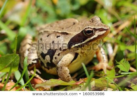 クローズアップ ヨーロッパの カエル 立って 石 美 ストックフォト © taviphoto