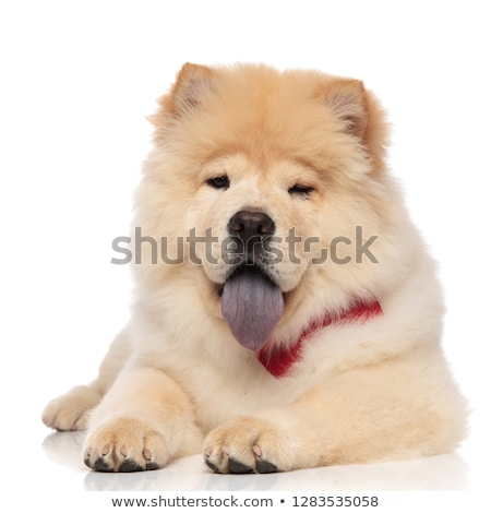 cute chow chow wearing red bowtie panting and lying Stock photo © feedough