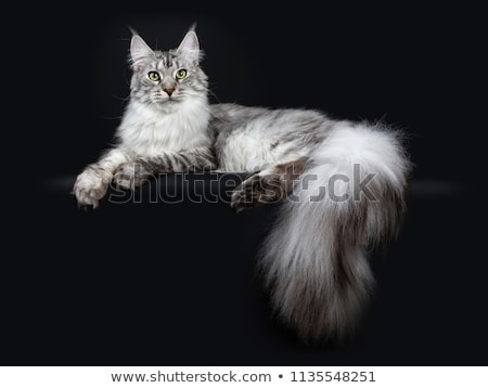 Stock photo: Majestic silver tabby young adult Maine Coon cat, isolated on black background.