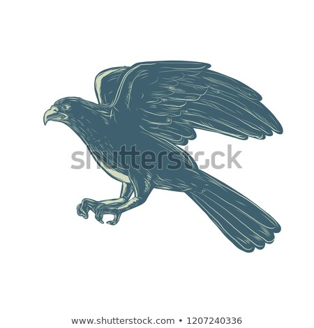 Northern Goshawk Scratchboard Stock photo © patrimonio