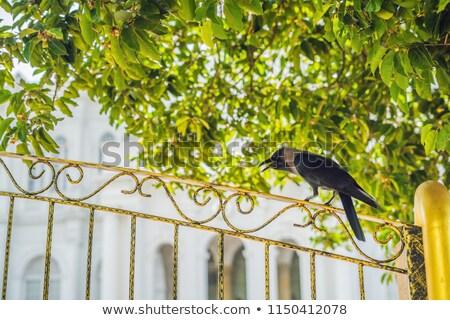 Crow on an iron yellow fence against the background of trees Stock photo © galitskaya