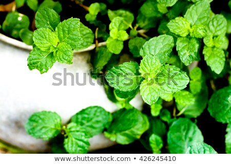 mint grows on blurred background Stock photo © romvo