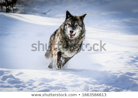 Lopen wolf lopen jacht achtervolging zijaanzicht Stockfoto © DragonEye