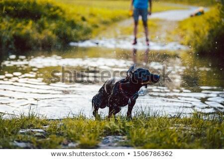 kutya · úszik · citromsárga · labor · tó · tart - stock fotó © kzenon