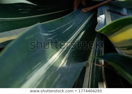 Green Blade Agave Cactus Close Stock photo © bobkeenan
